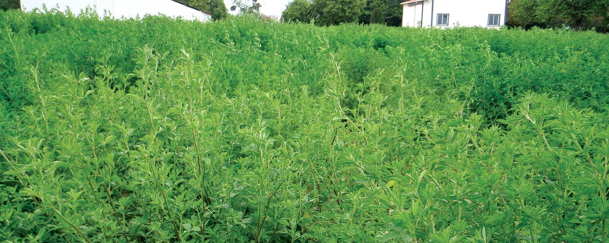 alfalfa-field